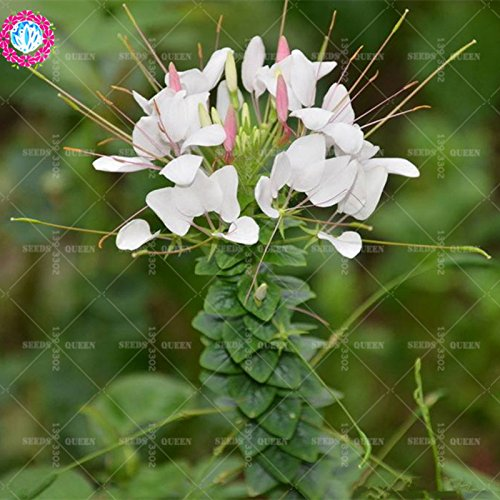 11.11 Big Promotion! 100 pcs/lot rares graines de spiderflower colorées graine de bonsaïs fleur arbre chinois jardin et la maison plante herbe organique 1
