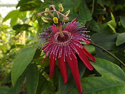 Winterharte Passionsblume Passiflora Pura vida ca. 30 cm - exotische Schönheit - mehrjährige Kletterpflanze