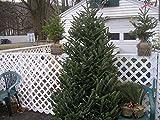 vegherb 100 Fraser Sapin de Noël à Feuilles persistantes semences d'arbres à Croissance Rapide des Arbres