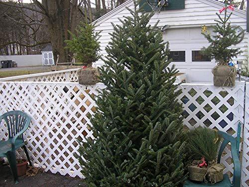 100 Fraser-Tanne Seed Weihnachtsbaum Evergreen schnell wachsende Bäume