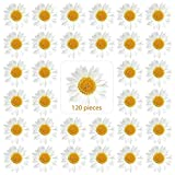 120 Pieces Real Dried Daisy Flowers Natural Dried...