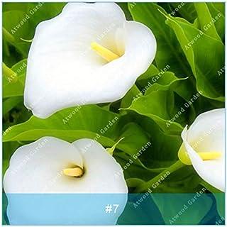 ZLKING colorido 2pcs cala Bulbos de flores de plantas bonsái boda de la flor Perennes Bulbos Flores no semillas para jardín 6