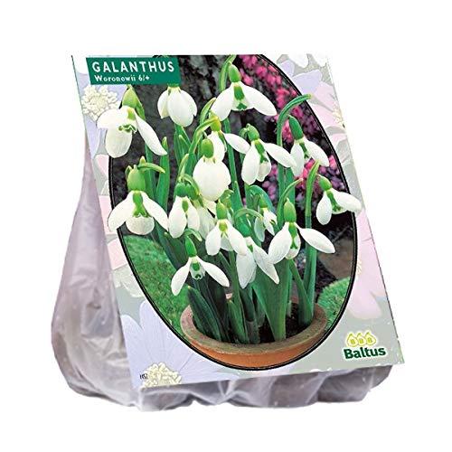Galanthus Woronowii 25 Stück Schneeglöckchen Schneeglöckchen