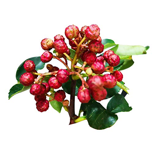 Red Peppercorn Seeds 30pcs (Zanthoxylum Bungeanum) Organic Vegetables Hua Jiao Seasoning Edible Fresh Premium Plants Seeds for Planting Garden Yard Outdoor