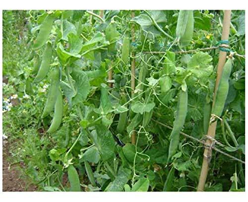 Premier Seeds Direct PEA01 Feltham First frühste ErbsenSamen (Packung mit 300)