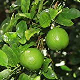AchmadAnam - Tree - Key Lime (Mexican Lime), 1-2 Year Old (1-2 Ft), Potted, 3 Year Warranty. E2