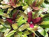"""Neoregelia ibrido """"sale e pepeine"""" con margherite viola Vendiamo semi non solo la pianta. Il prezzo include funzioni customes Seeds è il pacchetto completo. Trasporto che a livello internazionale"""
