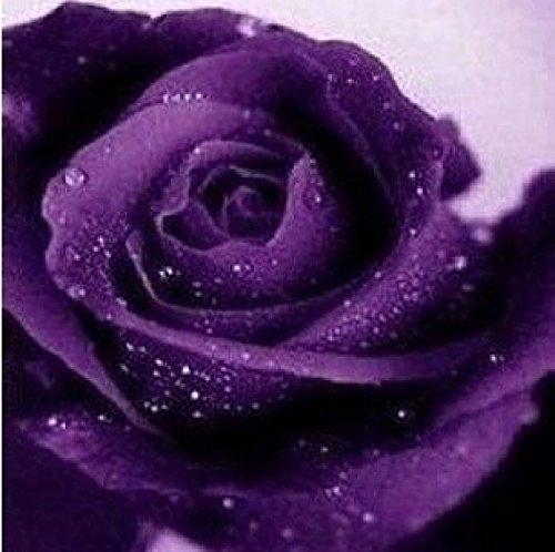 Schöne purpurrote Rosen-Samen