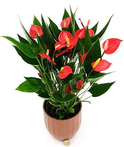 ANTHURIUM ROSSO MILLION FLOWERS VERSIONE NATALIZIA IN VASO CERAMICA BRONZO, pianta vera