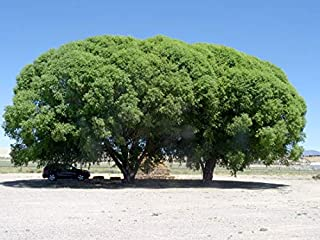 Four (4) Globe Willow Trees - Fast Growing Shade or Privacy - Get 4 Live Tree Plants - Globe Willow - Great for Bonsai