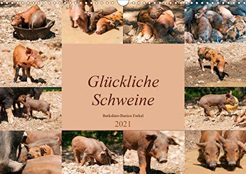 Glückliche Schweine Berkshire-Iberico Ferkel (Wandkalender 2021 DIN A3 quer)