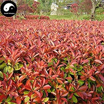 ASTONISH SEEDS: Semillas Comprar Photinia serrulata árbol 200pcs Red planta para Heather Shi Nan
