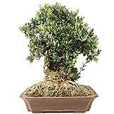 Bloom Green Co. ¡Promoción!20 Unids Raro Olivo Bonsai de Olivo (Olea Europaea) Mini Planta de Ãrbol Para Jardín en Casa, Macetas Exóticas Macetas: 5