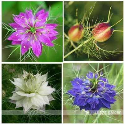100 Samen Mischfarbenblumen Indoor Hause Pflanzen Nigella Damaszener-Samen für DIY kleinen Garten