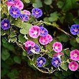 B/H pour Le Jardin Graines,Trompette grimpante Fleur Matin Gloire Graine balcon-2kg,Graines De Printemps Vivaces