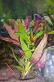 5 x Althernanthera rosaefolia / Papageienblatt Pflanze Aquarium...