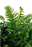 Bodendecker Gewöhnlicher Tüpfelfarn - Polypodium vulgare - verschiedene Größen