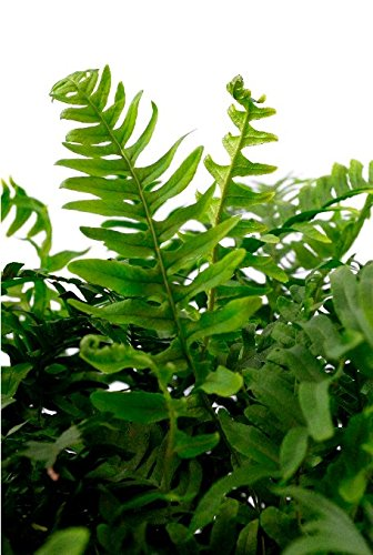 Bodendecker Gewöhnlicher Tüpfelfarn - Polypodium vulgare - verschiedene Größen (Topf 2Ltr.)
