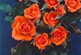 Apuldram Roses 'WILDFIRE' - Patio Rose (Potted)