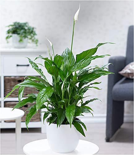 BALDUR Garten Spathiphyllum im 60 cm hoch, 1 Pflanze Luftreinigende Zimmerpflanze Einblatt blühende Zimmerpflanze