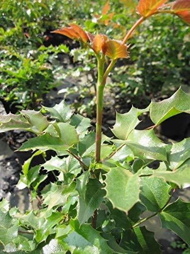 Mahonia aquifolium syn. Berberis aquifolium - Stechdornblättrige Mahonie - Gewöhnliche Mahonie -
