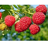 1 Plant Heritage Raspberry Potted Plants - Ever Bearing - Dark Red Berries (legendary-yes)