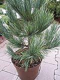 Pinus cembra glauca compacta - Kompakte Blauzirbelkiefer
