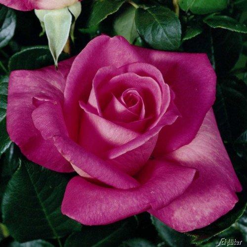 Edelrose Lady Like in Rosa - Duftrose winterhart & robust - Rose stark duftend, pink - Zweifarbige Pflanze im 5 Liter Container von Garten Schlüter - Pflanzen in Top Qualität