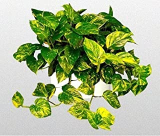"Golden Devil's Ivy - Pothos - Epipremnum - 6"" Hanging Pot - Very Easy to Grow unique from Jmbamboo"