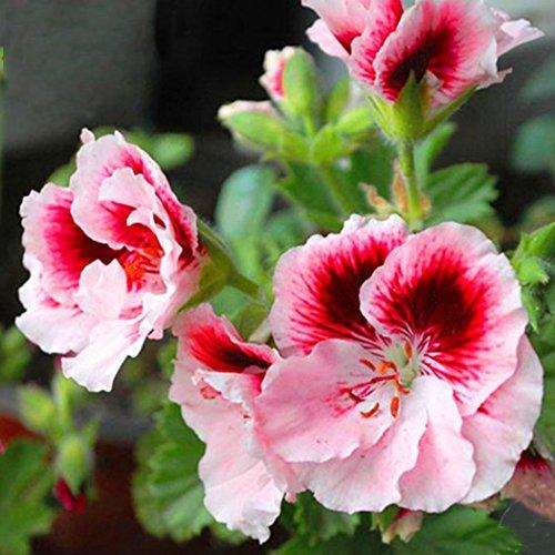 Cioler Seed House - Graines de géraniums parfumées rares Parfum de citron Graines de pélargonium Graines de fleurs pour les moustiques Anti-moustiques, mouches et moustiques