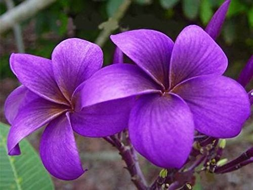 'Violet-V' Fragrant PLUMERIA'S Cutting with Rooted 7-12 INCH Registered Mail Track Online 100% Guarantee SATISFICATION