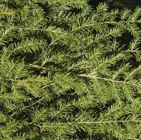 Hochstamm Hängende Kanadische Hemlocktanne 40-60cm - Tsuga canadensis