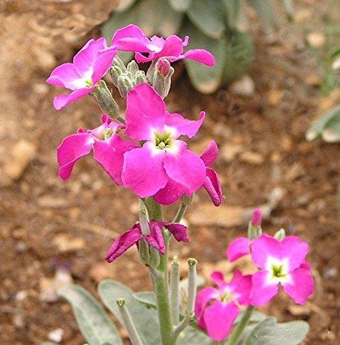 20 graines / pack fleurs violettes odorantes, fleurs en pot semences potagères public semé Violet