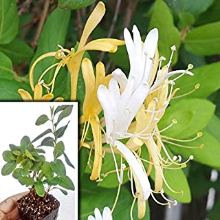 Hall's Japanese Honeysuckle Vine Plant, Lonicera Japonica Rooted Vines - Small Plant