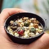 TENGGO Egrow 10 Pcs/Pack Succulent Planet Semillas Mini Astrophytum para Home Garden Planta
