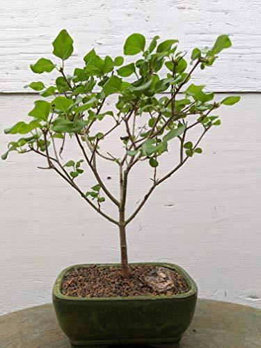 Dwarf Korean Lilac Bonsai Tree