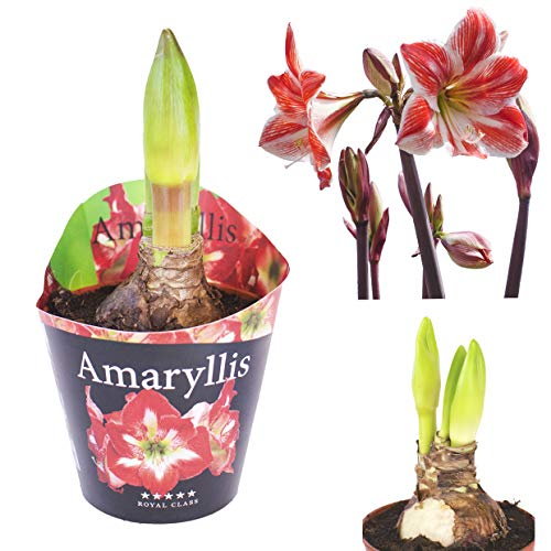Inter Flower - 1 XL Amaryllis im 12cm Topf Zweifarbig, Zimmerpflanze