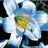 Lily Bulbs/Imported rhizomes/Beautiful Cut...