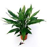 SPATIFILIUM VARIEGATO, SPATIFILLO, vaso 17cm, pianta vera