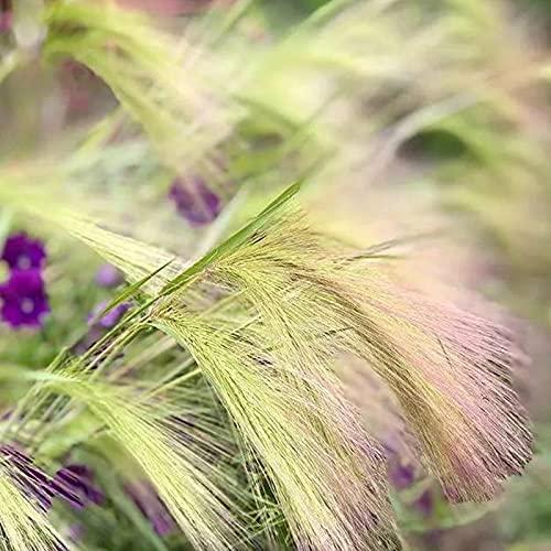 100 Stück Fuchsschwanz Gerstensamen Mehrjähriger Frühling Mehrfarbige mittelbewässernde Hordeum Jubatum Samen für den Außenbereich