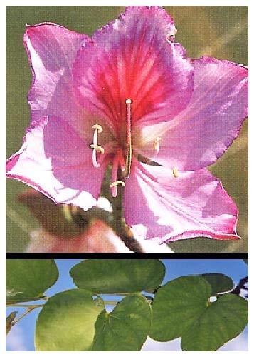 TROPICA - Arbre aux orchidées (Bauhinia variegata) - 8 graines- Magie tropicale