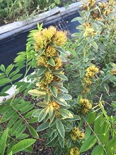 Lespedeza, Lespedeza capitata, Organic, 50 seeds per pack, Heirloom, Medicinal