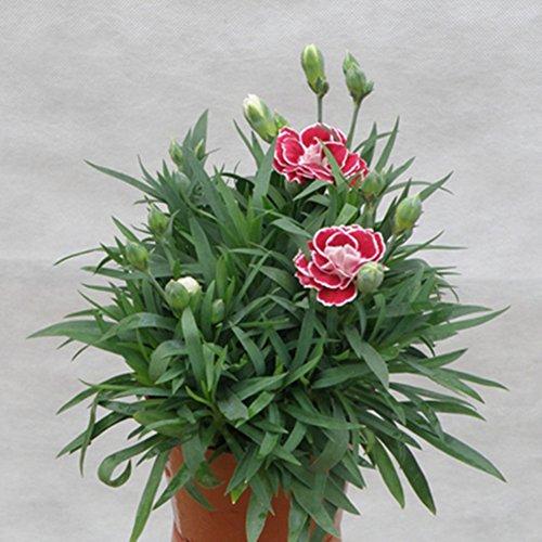 Graines d'oeillets nain fleur parfum en pot plantes vertes facile à cultiver Home Garden Decor Bonsai