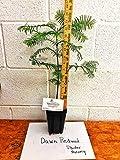 "Dawn Redwood Bonsai Tree- 8-12"" in a Quart Pot - Metasequoia glyptostroboides for Planting"