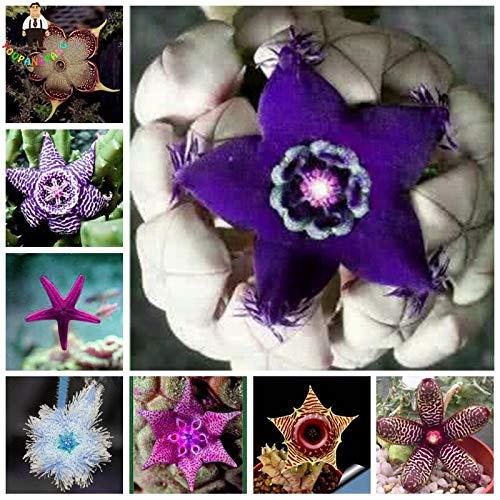 Elitely 35 Stücke Stapelia Pulchella Samen Lithops Mix Sukkulenten Raw Stein Kaktus Samen Selten Für Hausgarten Blumensamen