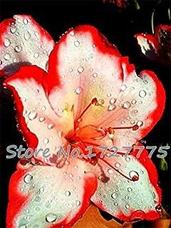 AGROBITS Promociones Bonsai y plantas de colores bonsai cala raras Flores (no cala Bulbos) -100 plantas piezas de cala: Negro