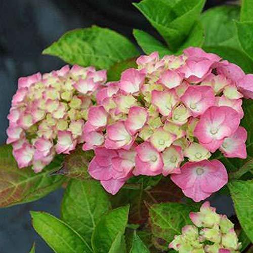 Hydrangea Macrophylla 'King George Vii'- Hortensia 'King George VII' 25-30 cm en conteneur
