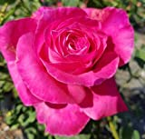 Perfume Delight Hybrid Tea Rose Bush - 1 Bareroot Plant/Bush - Noted for It's Bright Pink Flowers and Spicy Fragrance. - Country Creek LLC