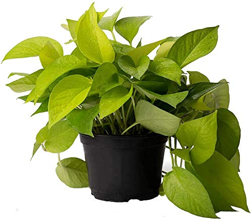 American Plant Exchange Neon Pothos Easy Care Real Live Plant, 6' Pot, Top...