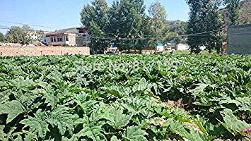 ASTONISH ERSTAUNEN SEEDS: New Arrl 20 Samen Hausgarten Pflanze Rhabarber Rheum palmatum sät freies Verschiffen